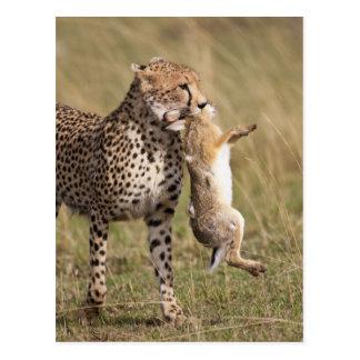 Cheetah (Acinonyx jubatus) with jackrabbit kill, Post Cards