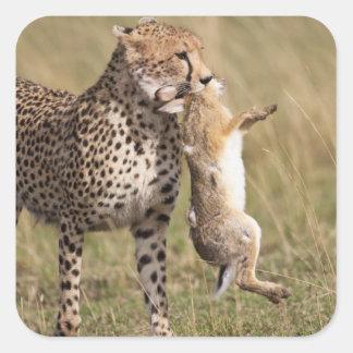 Cheetah (Acinonyx jubatus) with jackrabbit kill, Square Sticker