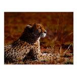 Cheetah and God Postcard