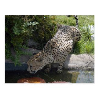 cheetah-b-1 tarjetas postales