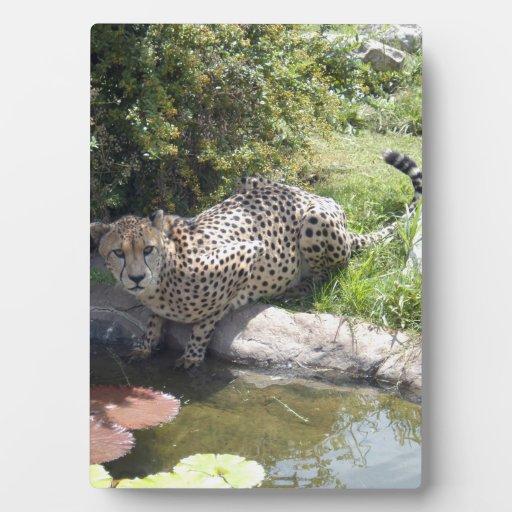 cheetah-b-2 placas con fotos