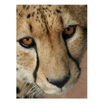 Cheetah Cat Postcard