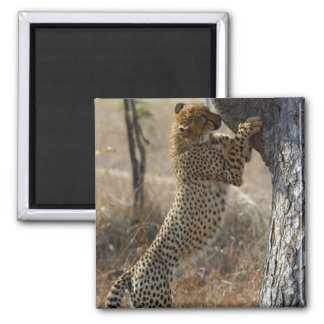 Cheetah Climbing On Tree 2 Inch Square Magnet