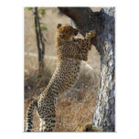 Cheetah Climbing On Tree Announcements