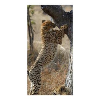 Cheetah Climbing On Tree Card