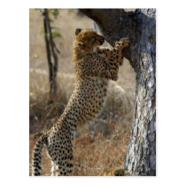 Cheetah Climbing On Tree Postcard