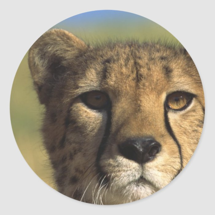 Cheetah Close-Up Classic Round Sticker