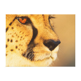 Cheetah Close-up of a female Stretched Canvas Print