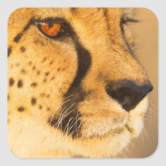 Cheetah Close-up of a female Square Stickers