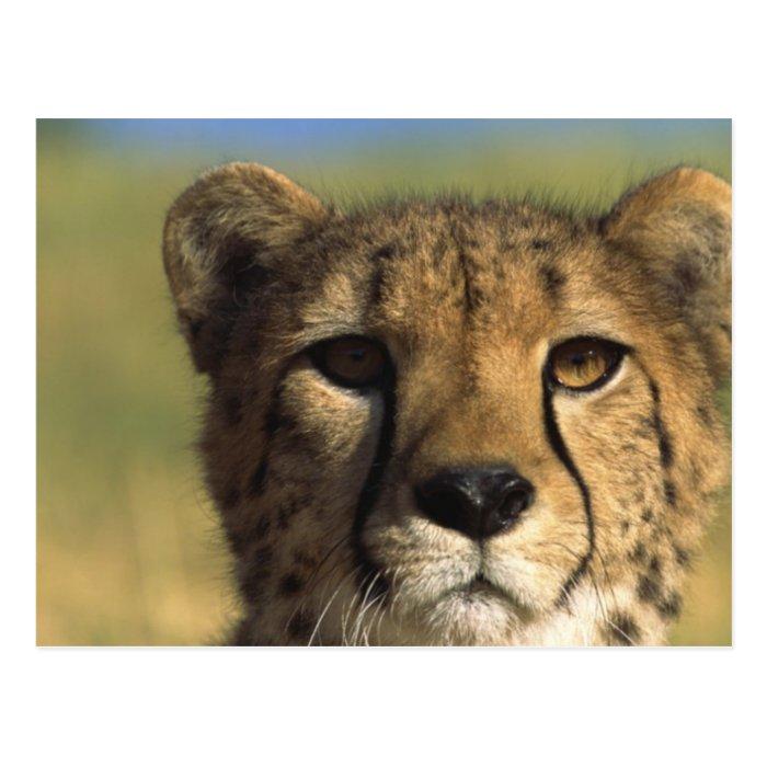 Cheetah Close-Up Postcard