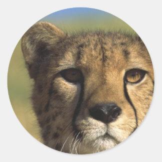 Cheetah Close-Up Sticker