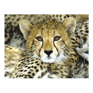 Cheetah Cub 2 Postcard