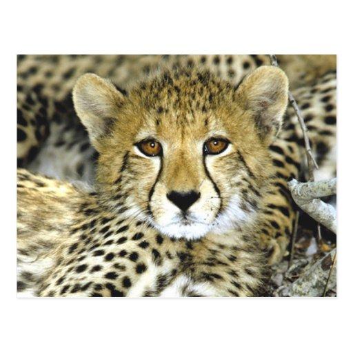 Cheetah Cub 2 Postcard