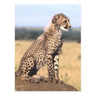 Cheetah Cub 3 Postcard
