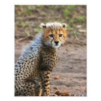 Cheetah Cub Acinonyx Jubatus) as seen in the Photo Print