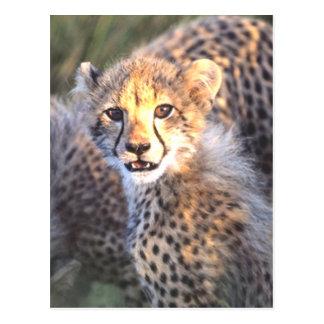 Cheetah Cub Postcard