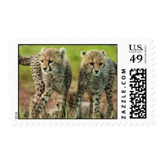 Cheetah Cubs Cat Africa Animal Park Cute Postage