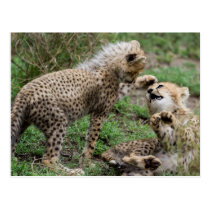 Cheetah Cubs Playing Postcard