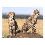 Cheetah Cubs Postcard