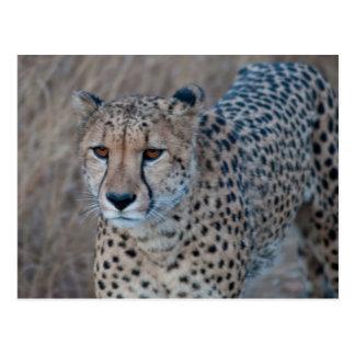 Cheetah Going for a Stroll Postcard