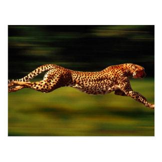 Cheetah Hunting His Prey Postcard