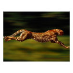 Cheetah Hunting His Prey Poster