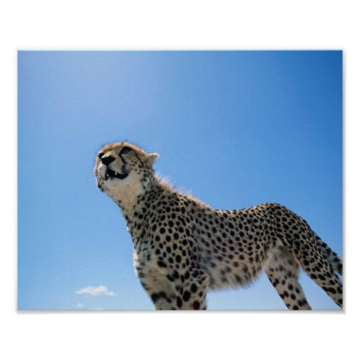 CHEETAH IN THE SKY POSTER