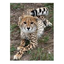 Cheetah Info Card