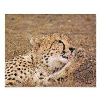 Cheetah Licking its Paw Photograph
