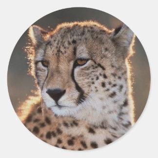 Cheetah looking away classic round sticker