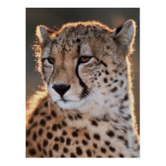 Cheetah looking away postcard