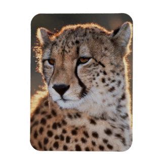 Cheetah looking away rectangular photo magnet