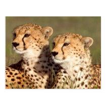 Cheetah Lying In Grass, Ngorongoro Conservation Postcard