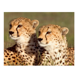 Cheetah Lying In Grass, Ngorongoro Conservation Post Cards