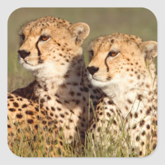 Cheetah Lying In Grass, Ngorongoro Conservation Square Sticker
