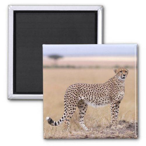 Cheetah Magnet