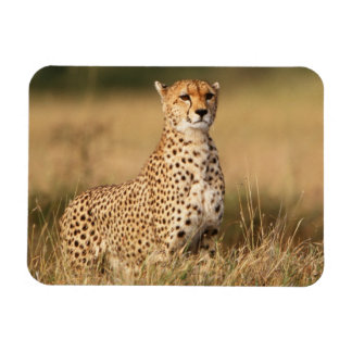 Cheetah on small mound for better visibility magnet