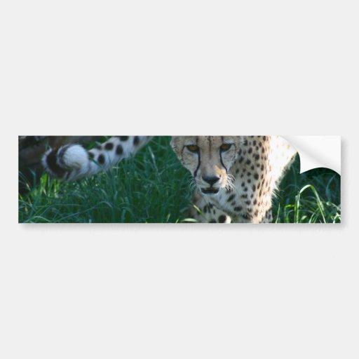 Cheetah on the hunt car bumper sticker
