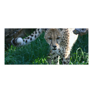Cheetah on the hunt card