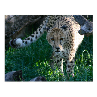 Cheetah on the hunt postcards
