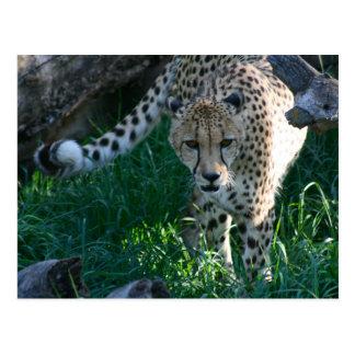 Cheetah on the hunt postcard