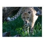 Cheetah on the hunt postcards