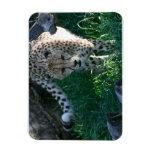 Cheetah on the hunt rectangular magnet