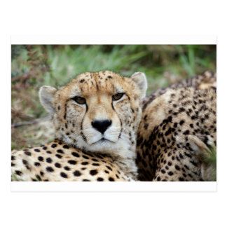 Cheetah portrait postcard