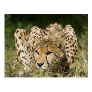 Cheetah Post Cards