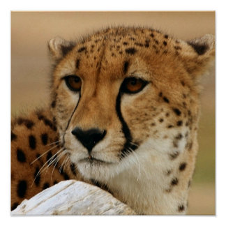 Cheetah Poster Poster