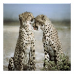 Cheetah Poster Posters