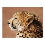 Cheetah Prince Postcard