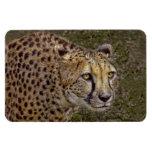 Cheetah Profile Vinyl Magnet
