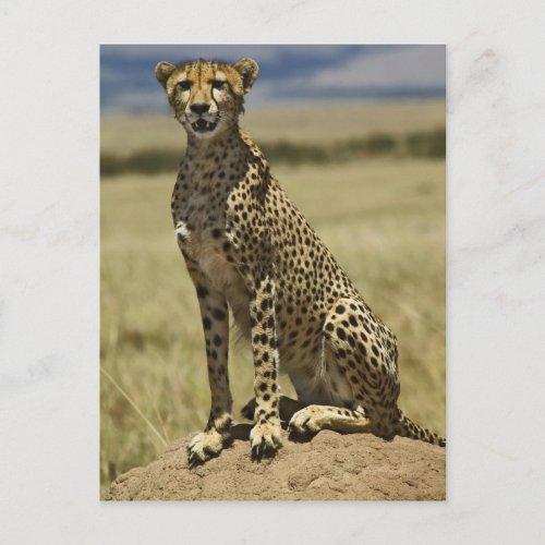 Cheetah resting Acinonyx jubatus Masai Mara Postcard